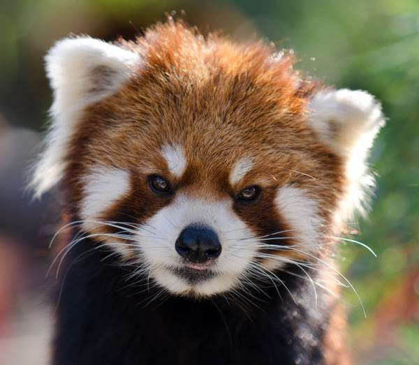 Red Panda Photos Staring