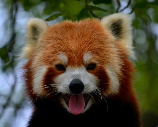Red Panda Photos Tongue Out
