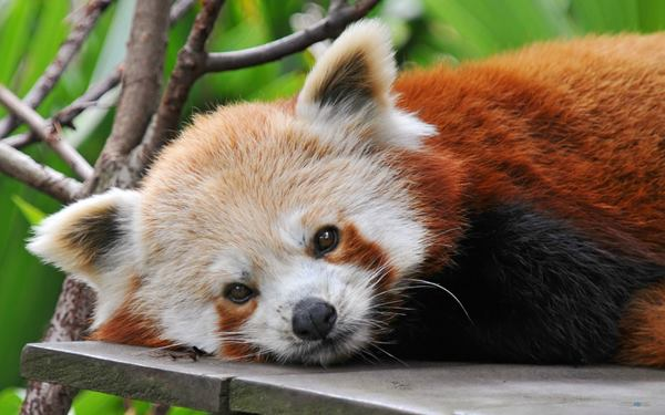 Red Panda Photos