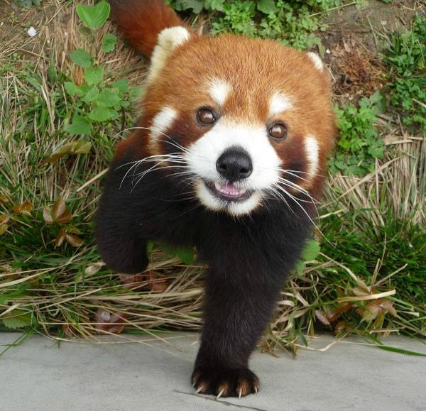 Red Panda Saying Hi