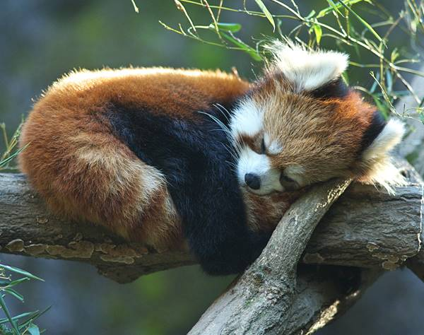 Red Panda Sleeping On A Tree