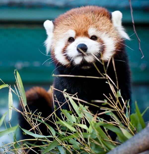Red Panda Smirk