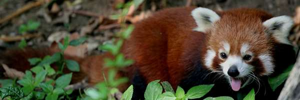 Red Panda Widescreen Photo