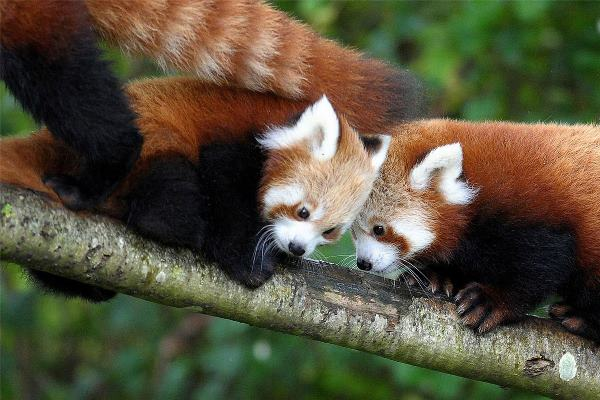 Red Pandas In A Tree