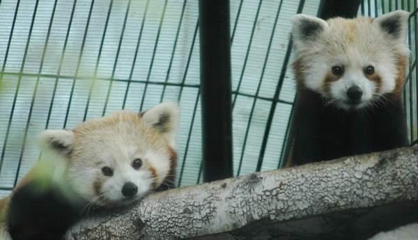 Red Pandas Looking