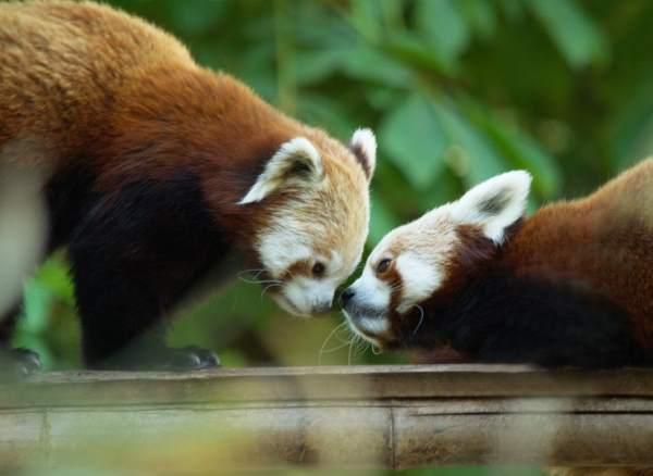 Red Pandas Nuzzling