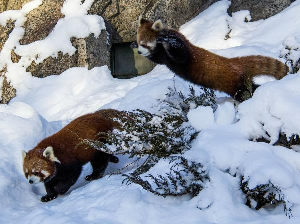 Red Pandas Playing In The Snow