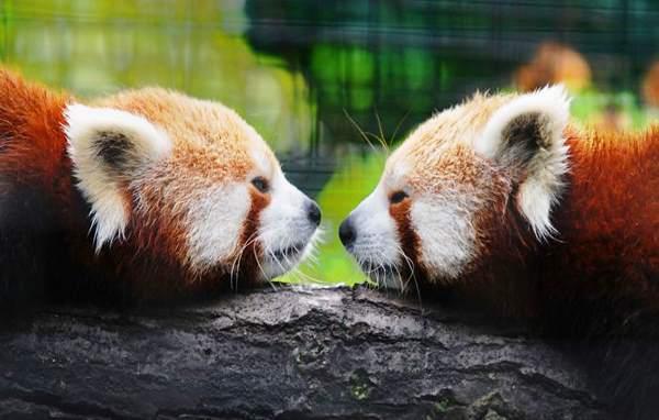 Red Pandas Touching Noses