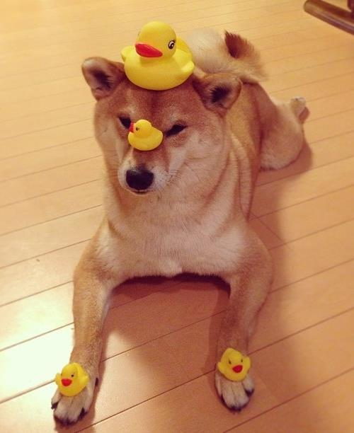 Plastic Ducks Shiba Inu Photos