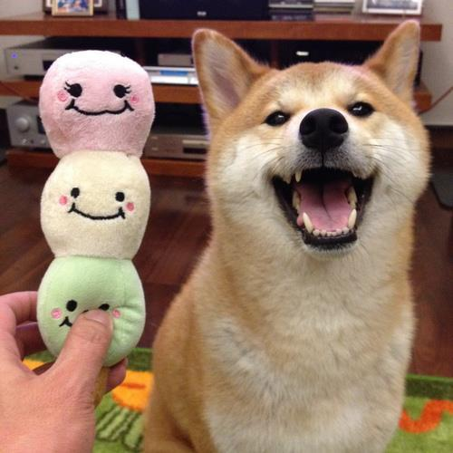 Shiba Inu Photos Happy
