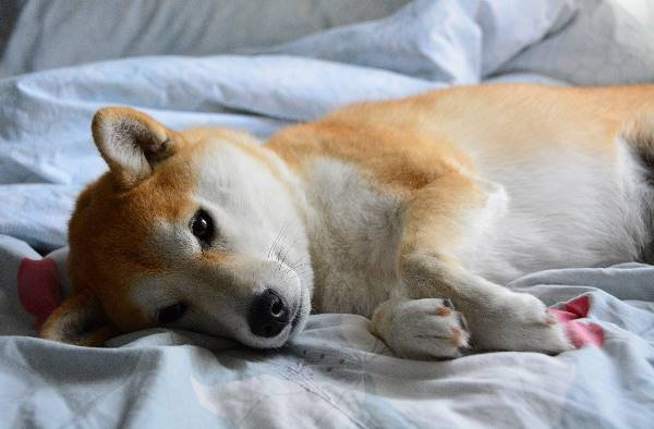 Shiba Inu Laying Down Picture