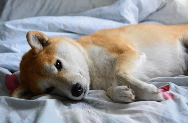 Shiba Inu Laying Down Picture