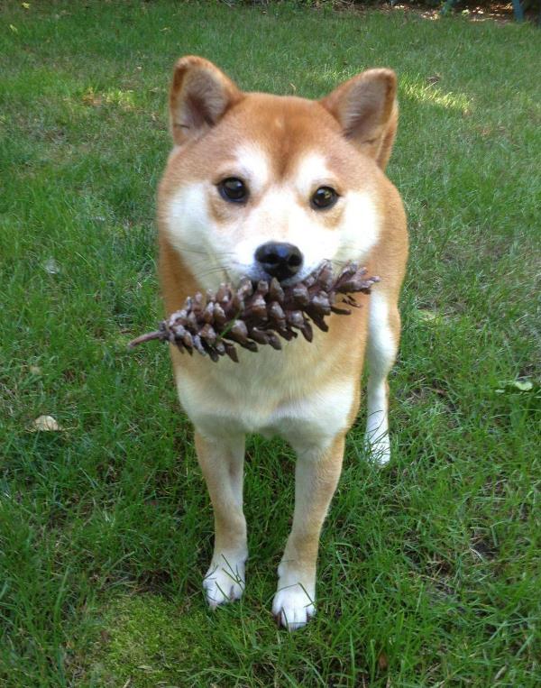 Shiba Inu Photos Pine Cone