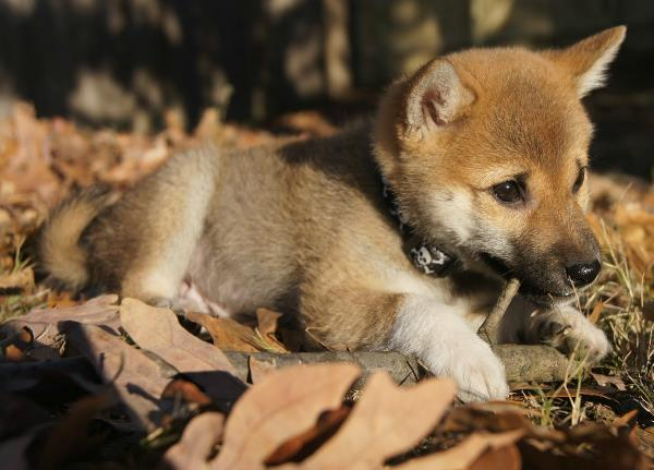 Shiba Inu Photos Small Puppy