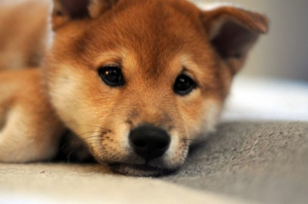 Shiba Inu Puppies Face
