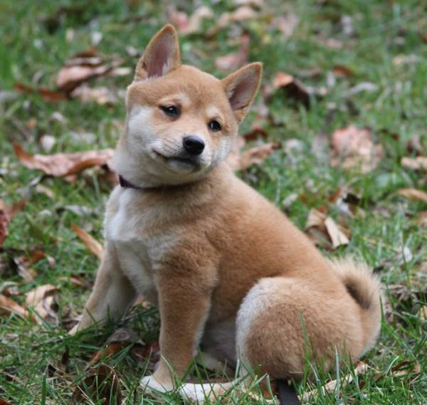 Shiba Inu Puppy In The Leaves