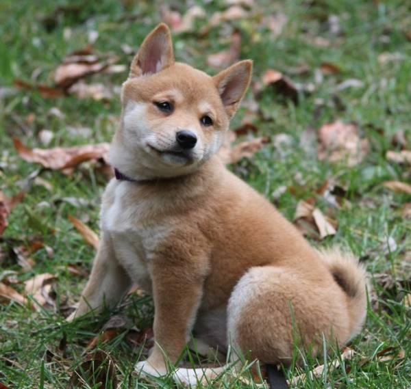 Shiba Inu Puppy Leaves