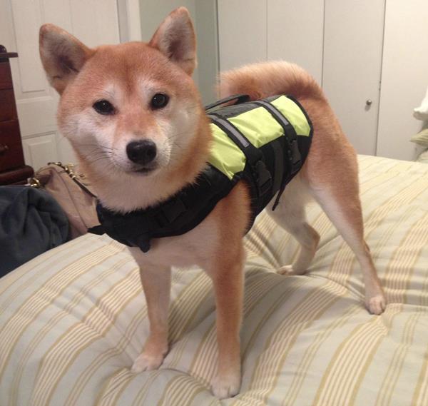 Shiba Inu Wearing A Shirt
