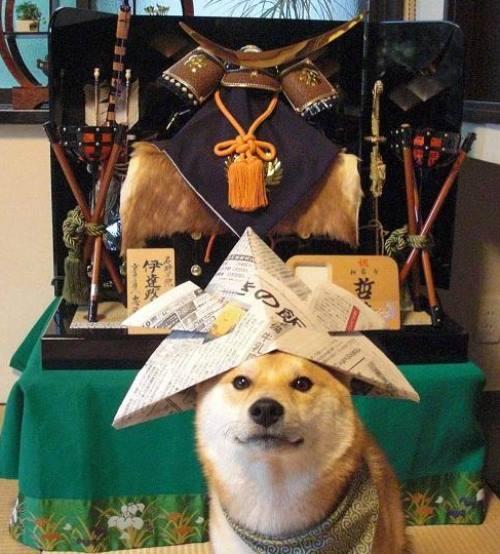 Shiba Inu Wearing A Hat