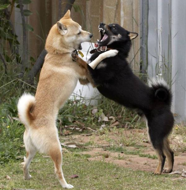 Shiba Inus Fighting