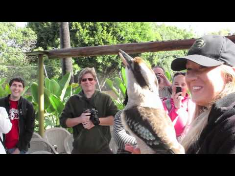 Video thumbnail for youtube video The Amazing Call Of The Kookaburra
