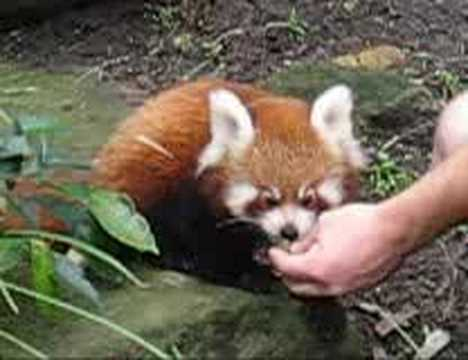 Video thumbnail for youtube video The Cutest Red Panda Photos Ever