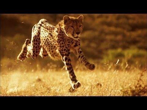 A Cheetah Running At 75 MPH