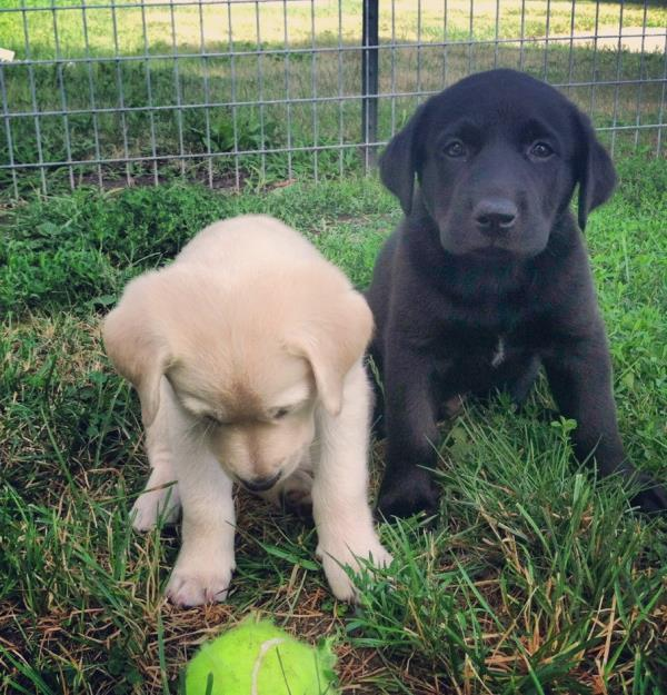 Adorable Puppy Pictures Labrador