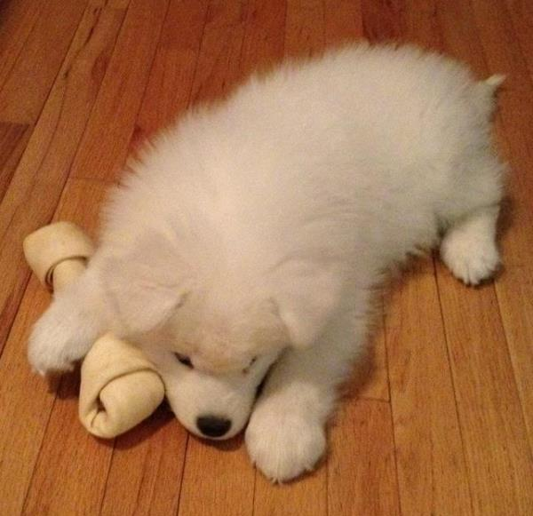 Adorable Samoyed Photos