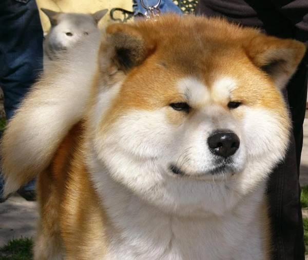 Akita Photos Face