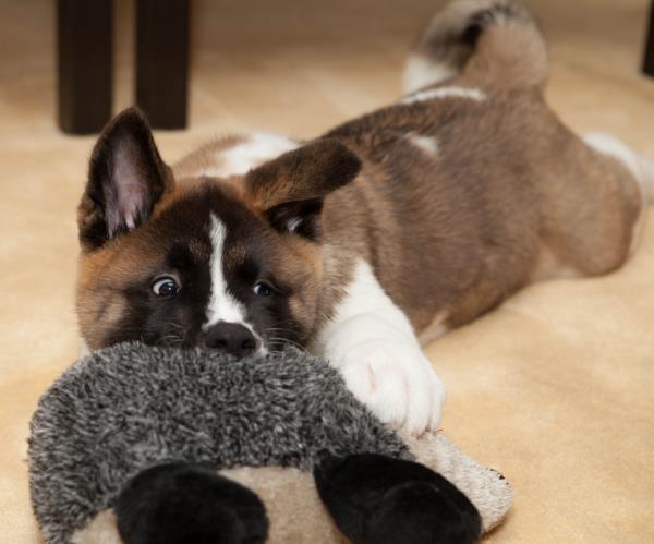 Akita Puppy Photo