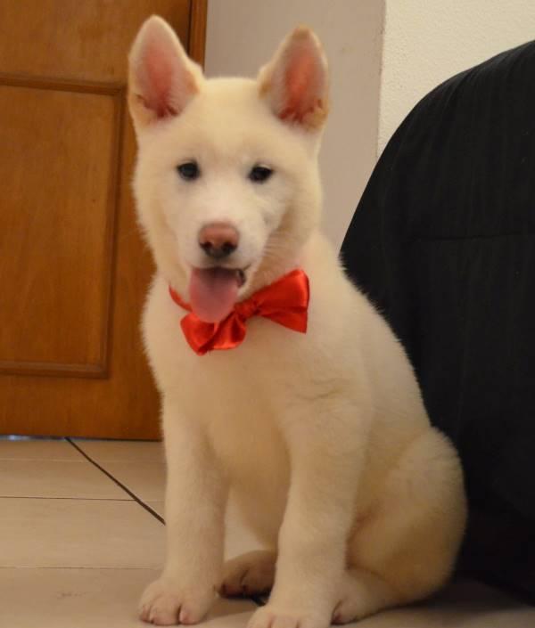 Akita Wearing Bow Tie