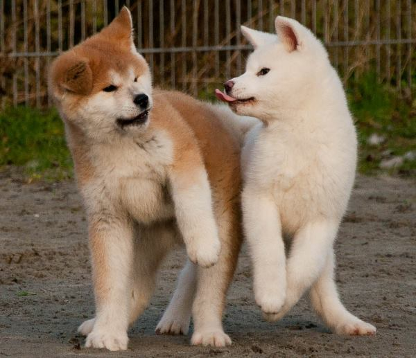 Akitas Playing