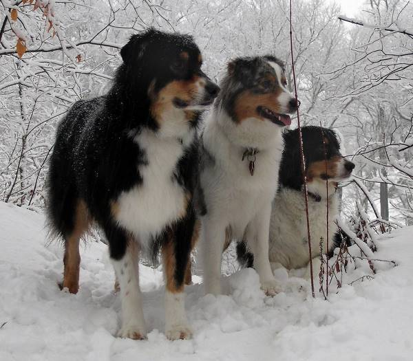 Australian Shepherds In The Snow