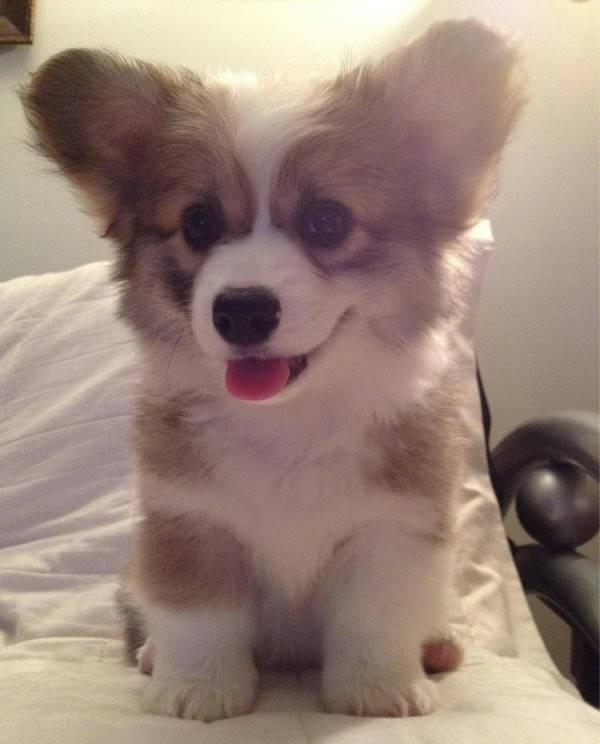 Big Ear Corgi Puppy