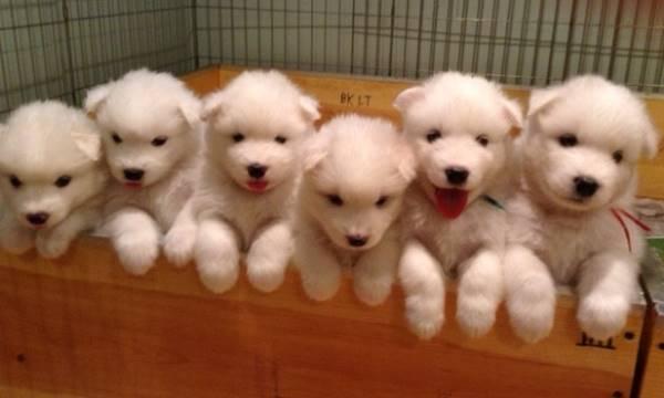 Box Of Samoyed Puppies