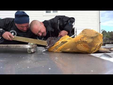 Video thumbnail for youtube video Catching A Gigantic Monkfish