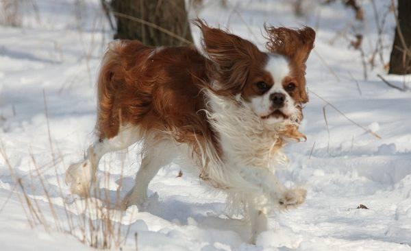 Cocker Spaniel In The Snow