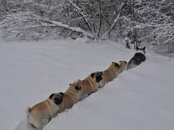 Corgi Leads Pugs In The Snow
