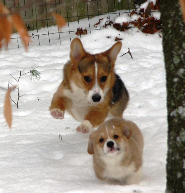 Corgis Playing In The Snow