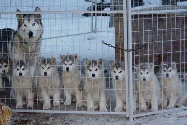 Cute Husky Family