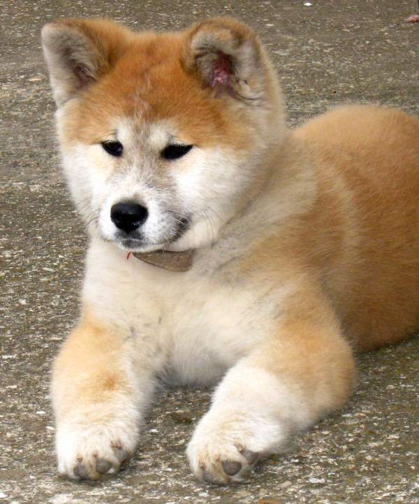 Cutest Akita Photos Fluffy