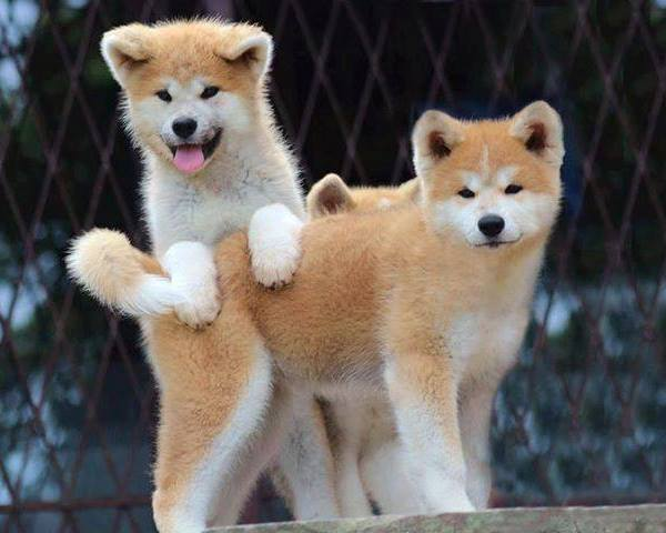 Cutest Akita Photos Puppies