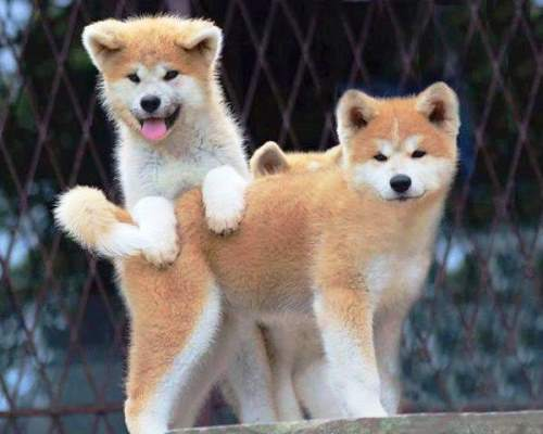 Cutest Akita Photos