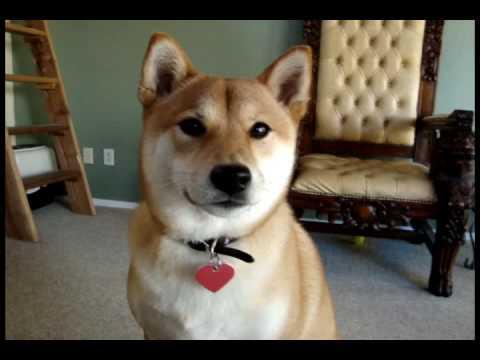 The Cutest Shiba Inu Photos Ever