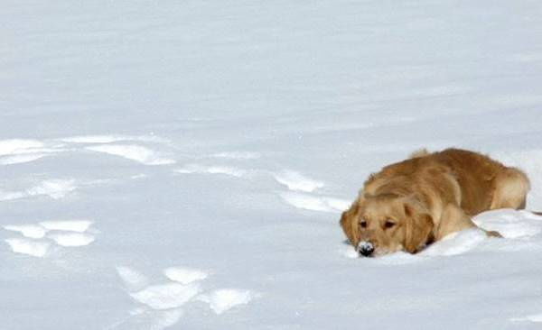 Dog Resting In The Snow