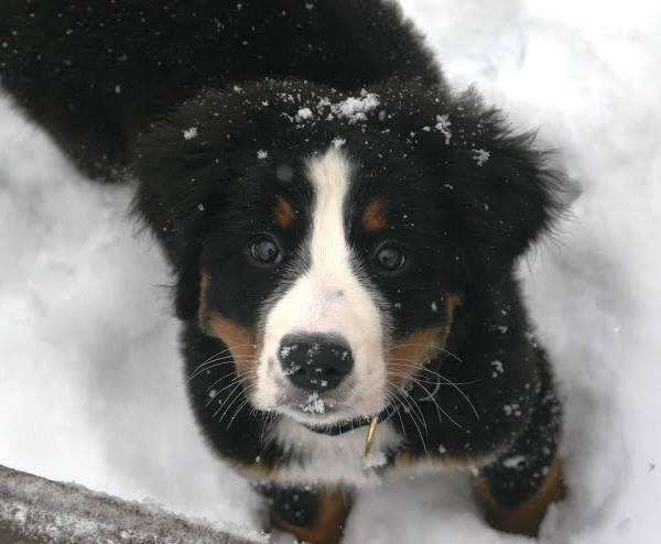 Dogs Loving Snow Bernese Mountain Dog