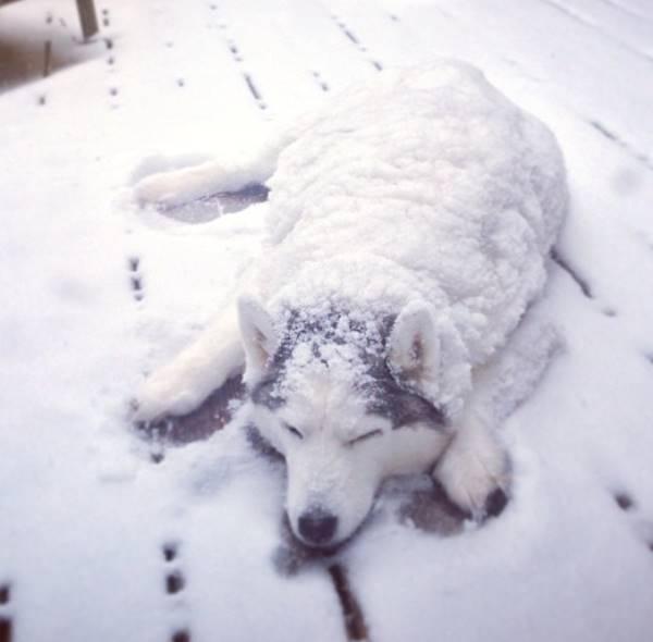 Dogs Loving Snow Husky