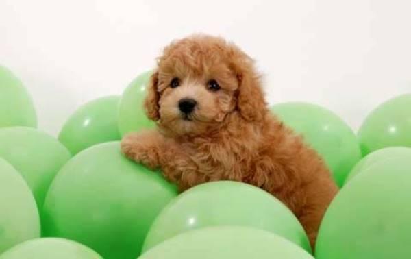 Fluffy Brown Puppy