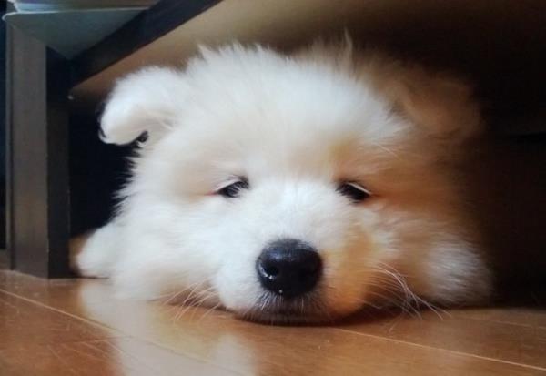 Fluffy Samoyed